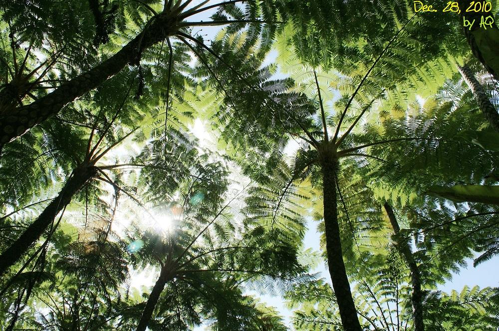 Tree fern rainforest jungle, Northern Okinawa main island, Dec. 28, 2010